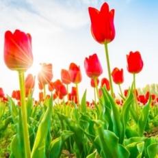 Tuindecoratie doek tulpen in rood QS303