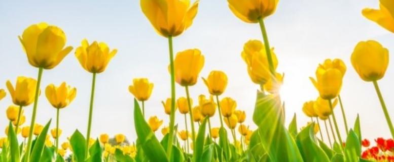 Tuindecoratie doek tulpen in rood en geel QS302