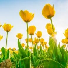 Tuindecoratie Doek zonder Ringen Tulpen Geel en Rood