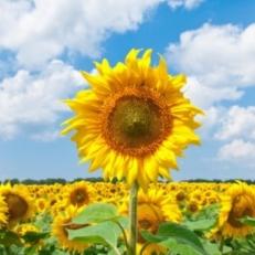 Tuindecoratie Doek zonder Ringen Zonnebloemen op het Veld
