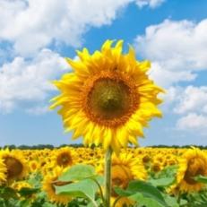 Tuindecoratie Doek met Bevestigingsringen Zonnebloemen in het Veld