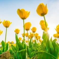 Tuindecoratie Doek met Bevestigingsringen Gele en Rode Tulpen