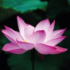 Tuindecoratie Doek met Bevestigingsringen Lotusbloem QS408
