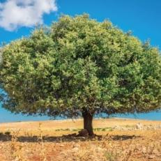 Tuindecoratie Doek met Bevestigingsringen Marokko Arganboom QS400